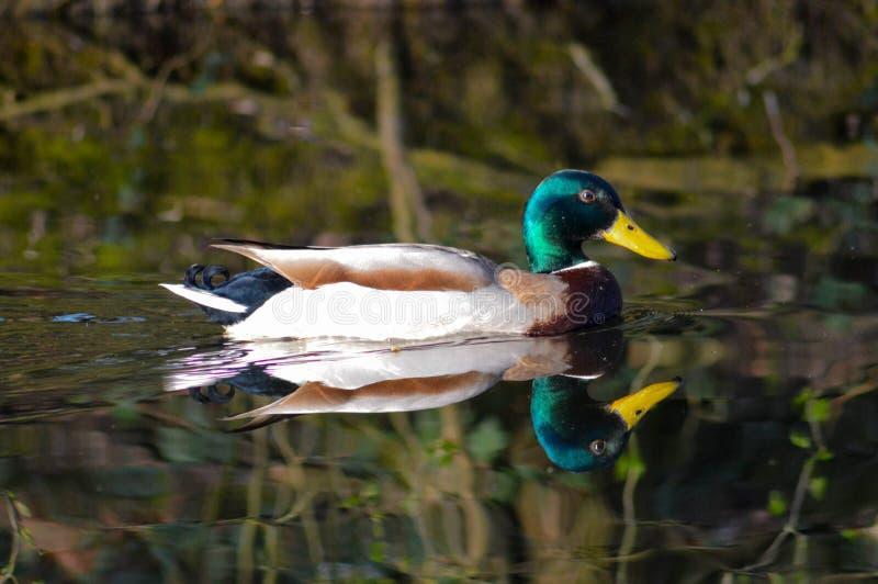 Ente, die nach rechts gegenüberstellt stockbild