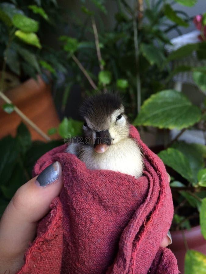 Ente in einer Decke stockfotografie