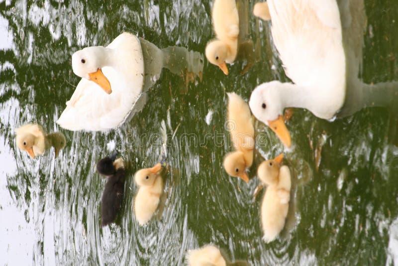 Ente-Familie stockbilder