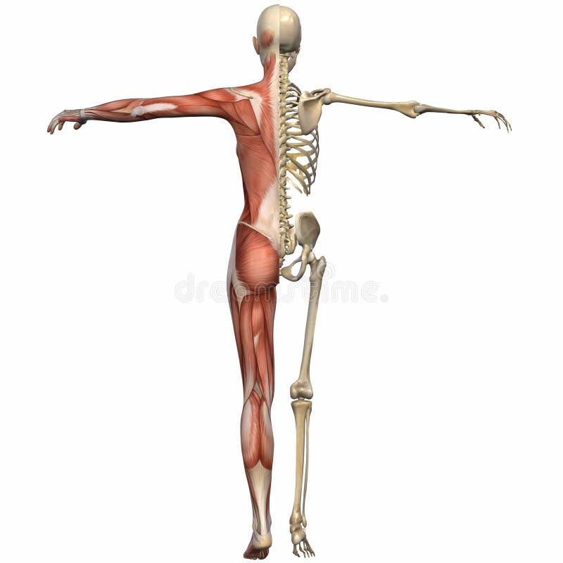 Ente femminile di anatomia illustrazione di stock