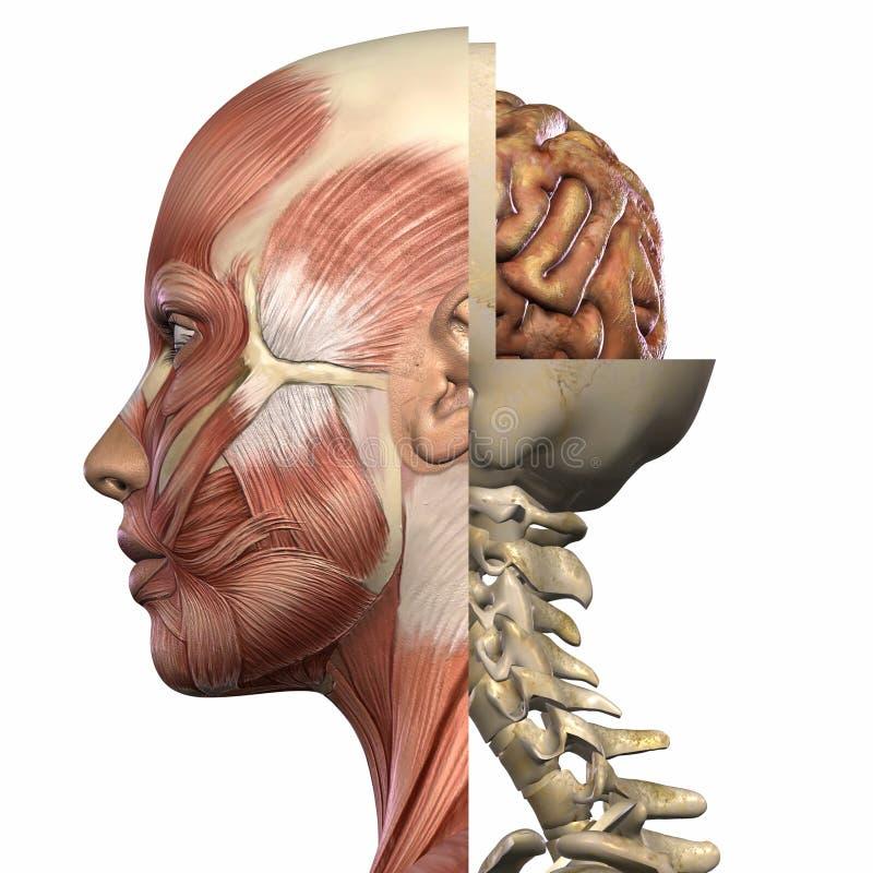 Ente femminile di anatomia illustrazione vettoriale