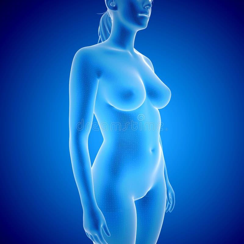 Ente femminile - vista dei raggi x illustrazione vettoriale