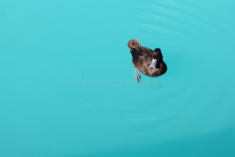 Ente im grünen Wasser lizenzfreie stockfotos
