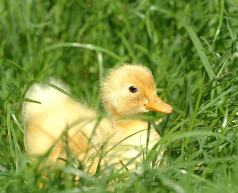 Ente im Gras stockfoto