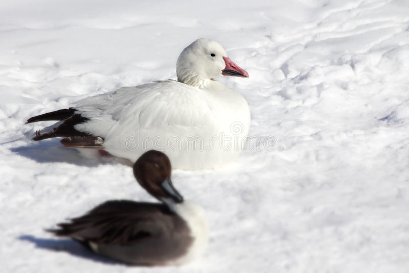 Ente im Schnee. lizenzfreie stockbilder