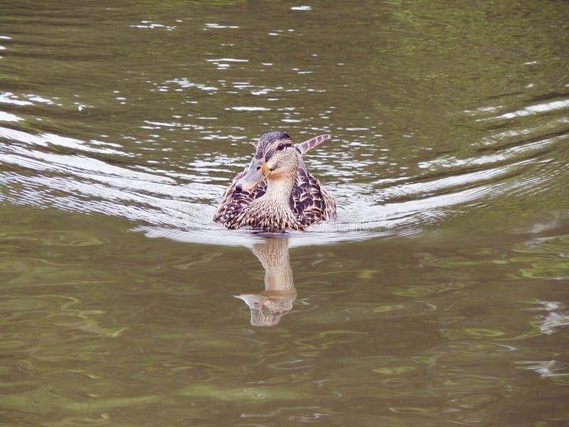 Ente im Teich lizenzfreie stockbilder