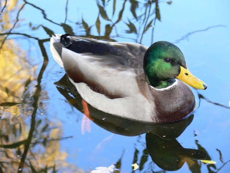 Ente im Wasser stockbild