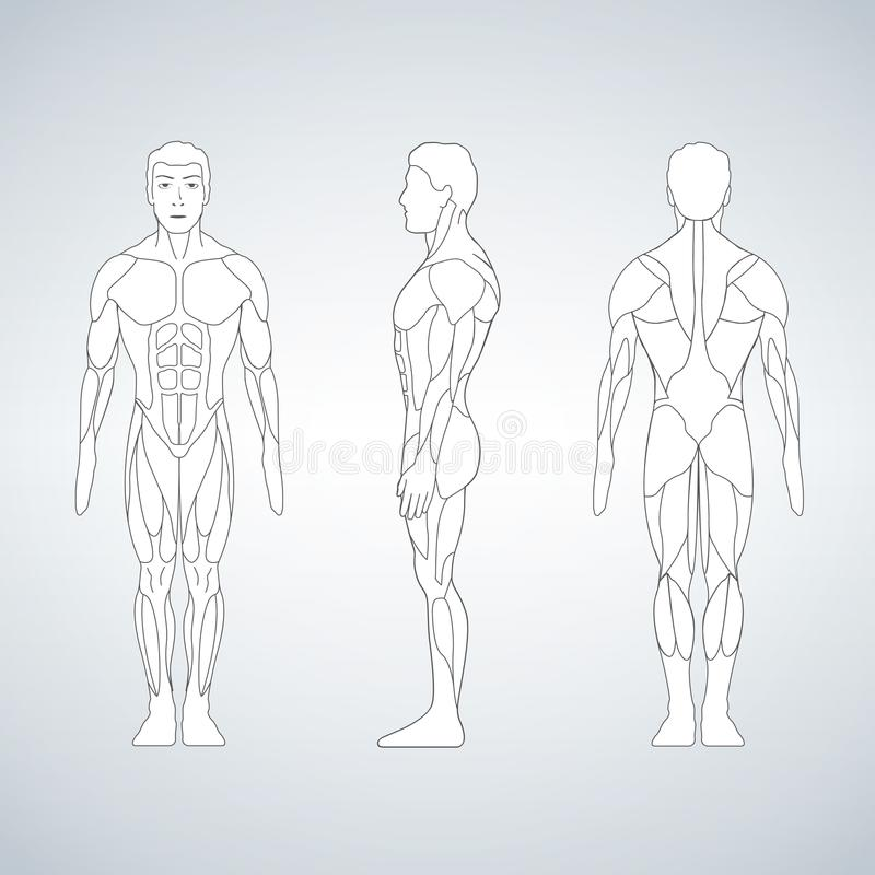 Ente integrale del muscolo, parte anteriore, punto di vista posteriore di un uomo diritto illustrazione vettoriale