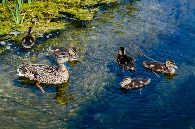 Ente mit den Entlein, die in einem Teich schwimmen stockfoto