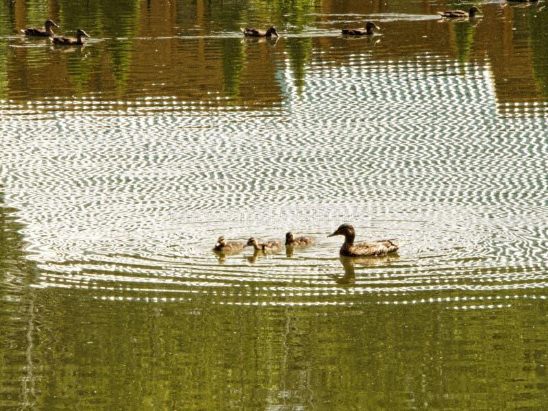 Ente mit den Entlein, die in geplätschertes Wasser des Teichs schwimmen lizenzfreie stockfotografie