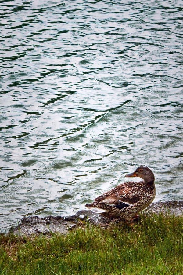 Ente nahe dem See lizenzfreie stockfotos
