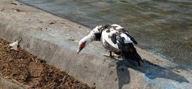 Ente nahe Wasser stockfotos