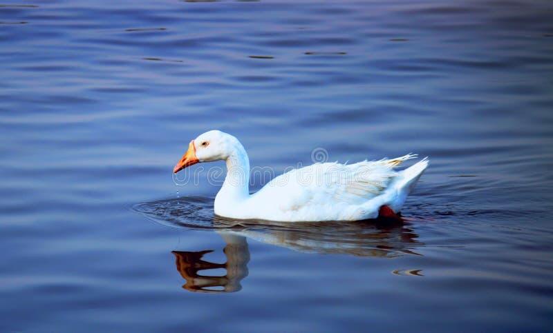 Ente-Schwimmen stockfotos