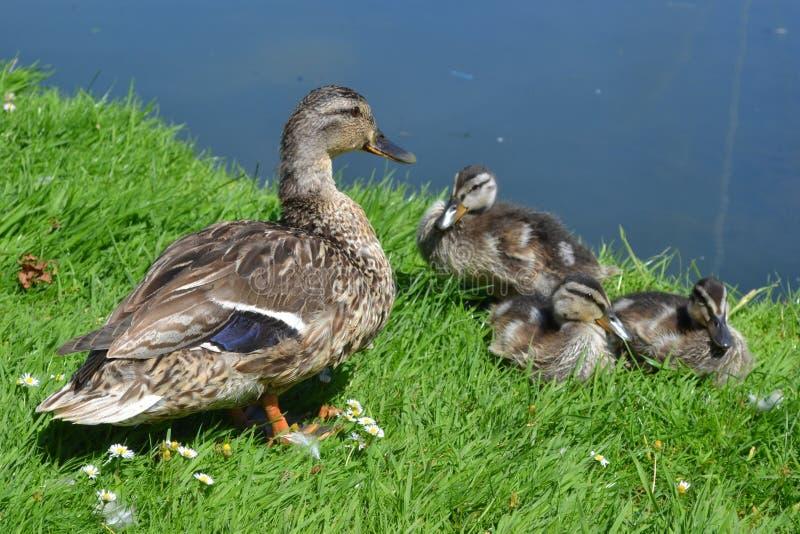 Ente und Entlein auf dem Gras lizenzfreies stockfoto