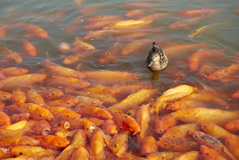 Ente und Fische stockfotografie