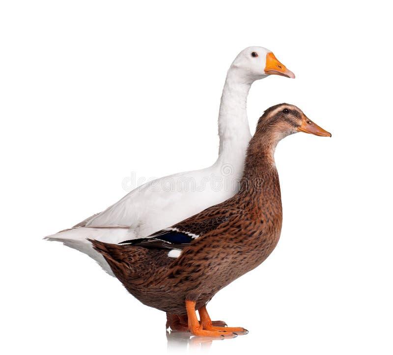 Ente und Gans stockfotos