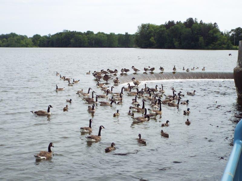 Ente und Karpfen erhalten am Abflusskanal eingezogen stockfotos