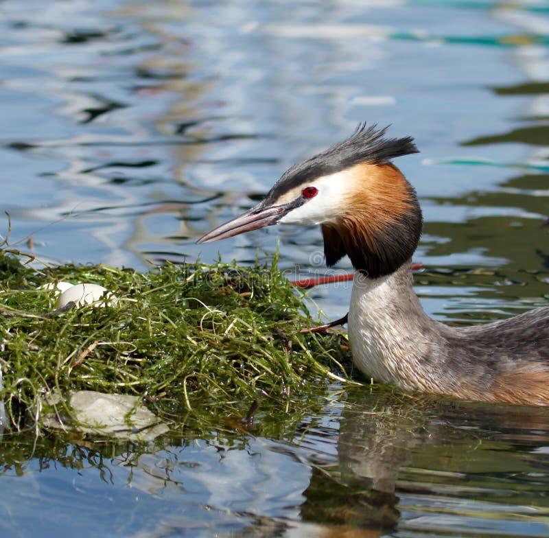 Ente und Nest des Tauchers (Podiceps cristatus) mit Haube stockfotografie