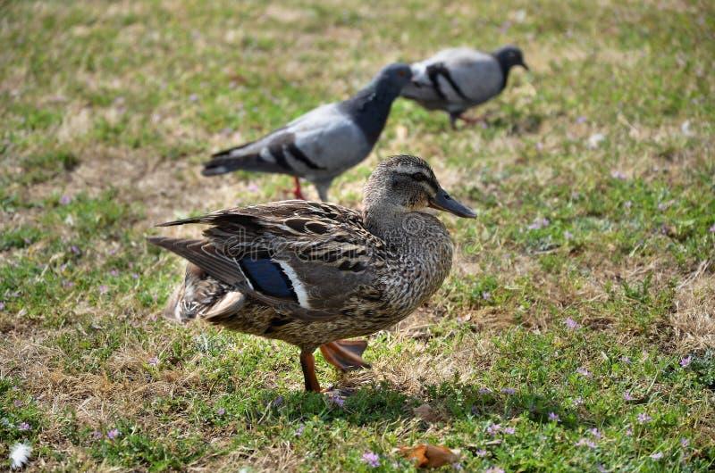 Ente und Tauben stockfotografie