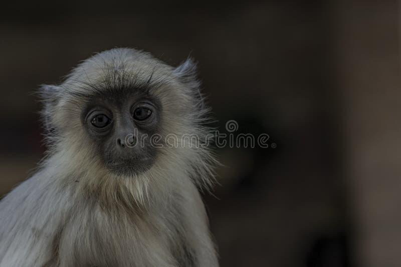 Entellus indio de Presbytis del mono o primer común del Langur imágenes de archivo libres de regalías