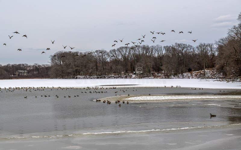 Enten über dem See stockbild