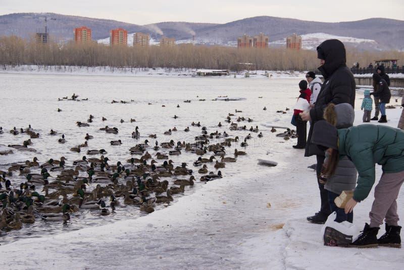 Enten auf dem Fluss lizenzfreie stockfotos