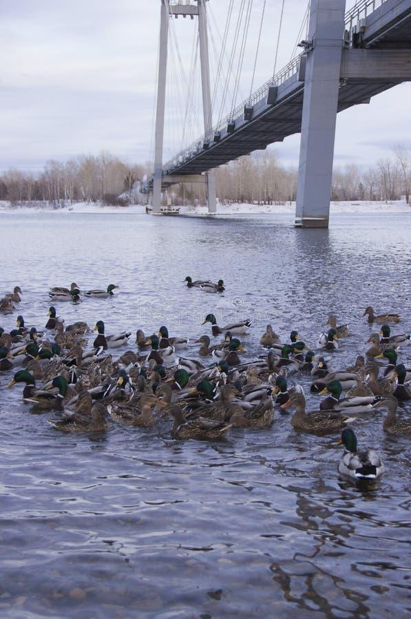 Enten auf dem Fluss lizenzfreie stockfotografie