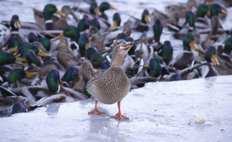 Enten auf dem Fluss lizenzfreie stockbilder
