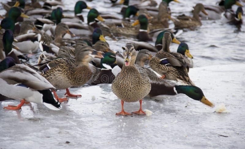 Enten auf dem Fluss stockfotografie