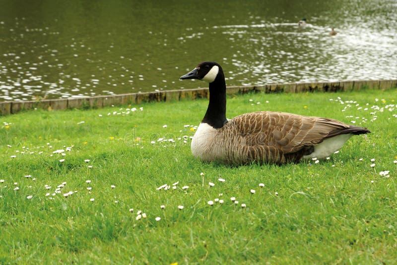 Enten auf dem Gras stockfotos
