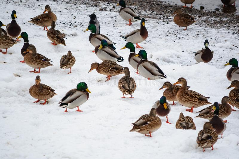 Enten auf dem Schnee lizenzfreie stockbilder