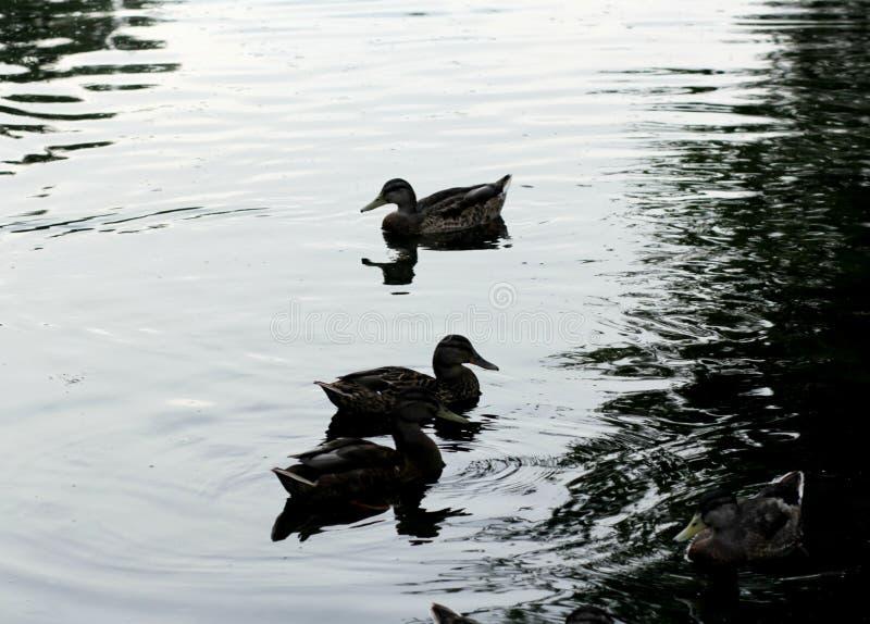 Enten auf dem See lizenzfreie stockbilder