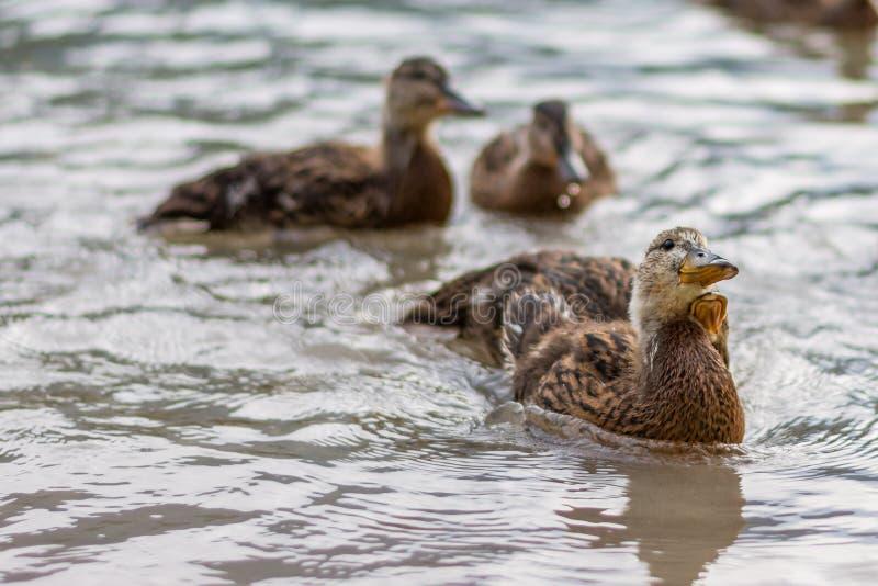 Enten auf dem See Kleine und junge Ente warten auf Lebensmittel von den Touristen Nette und lustige Tiere lizenzfreies stockbild