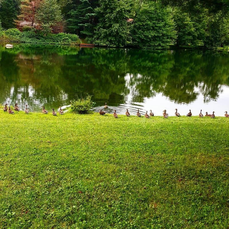 Enten auf dem Teich stockfoto