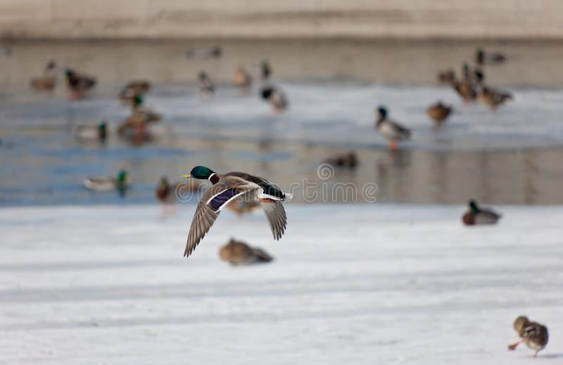Enten auf dem Winterfluß stockbilder