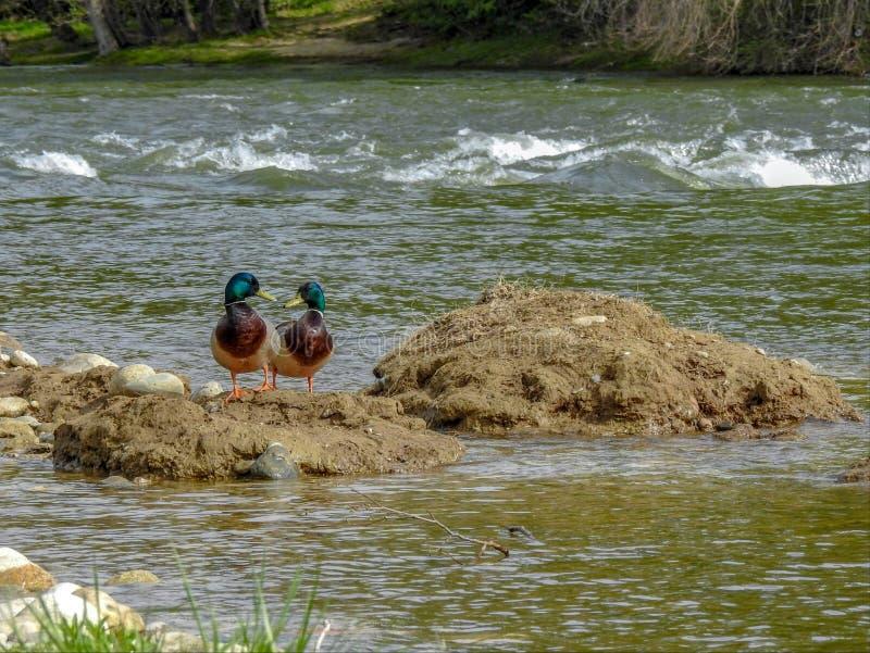 Enten auf einem Fluss stockfotos