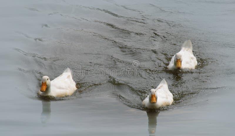 Enten auf einem Teich lizenzfreies stockbild