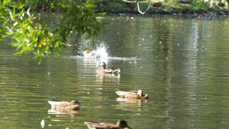 Enten auf Wasser im Stadtparkteich Enten schwimmen in einem Teich in einem Stadtpark Entenschwimmen in einem Stadt Park lizenzfreie stockbilder