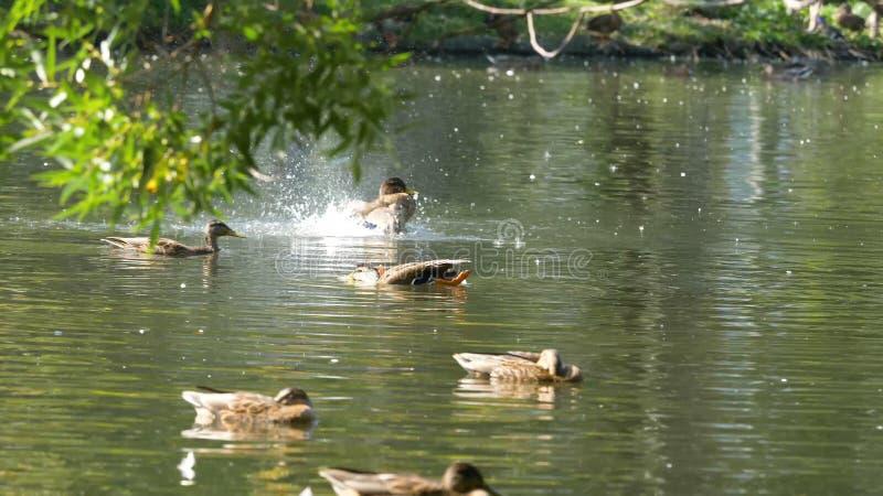 Enten auf Wasser im Stadtparkteich Enten schwimmen in einem Teich in einem Stadtpark Entenschwimmen in einem Stadt Park lizenzfreies stockbild