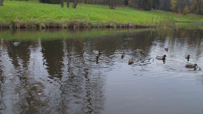 Enten auf Wasser im Stadtparkteich Wildenten im See Wilde Gänse Enten auf Wasser am Tag enten stockfoto
