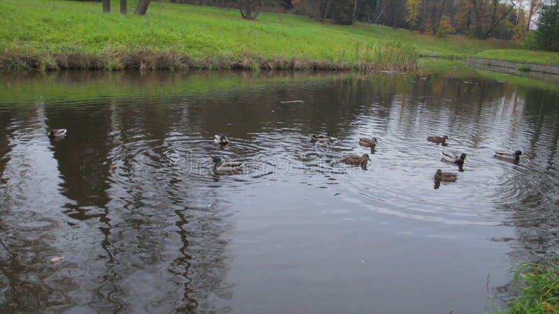 Enten auf Wasser im Stadtparkteich Wildenten im See Wilde Gänse Enten auf Wasser am Tag enten lizenzfreie stockfotografie