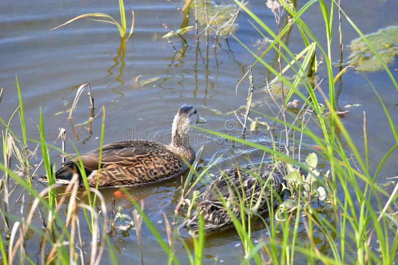 Enten bilden einen Konvoi, während sie den Fluss schaufeln, der nach Fischen sucht lizenzfreie stockfotos