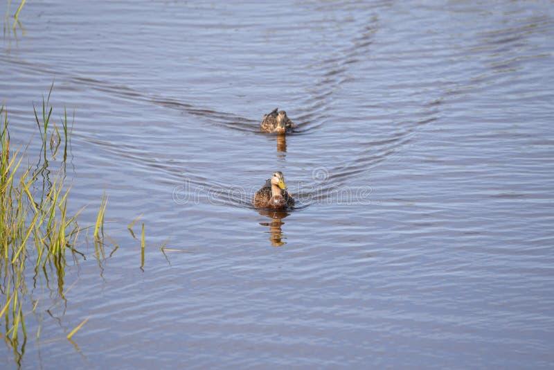Enten bilden einen Konvoi, während sie den Fluss schaufeln, der nach Fischen sucht lizenzfreie stockfotografie