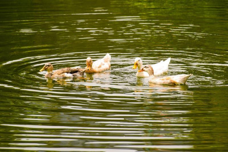 Enten, die auf Bild des Teichwassers Landschaftsauf dem ganzen bildschirm, Hintergrund, Tapete schwimmen stockbilder