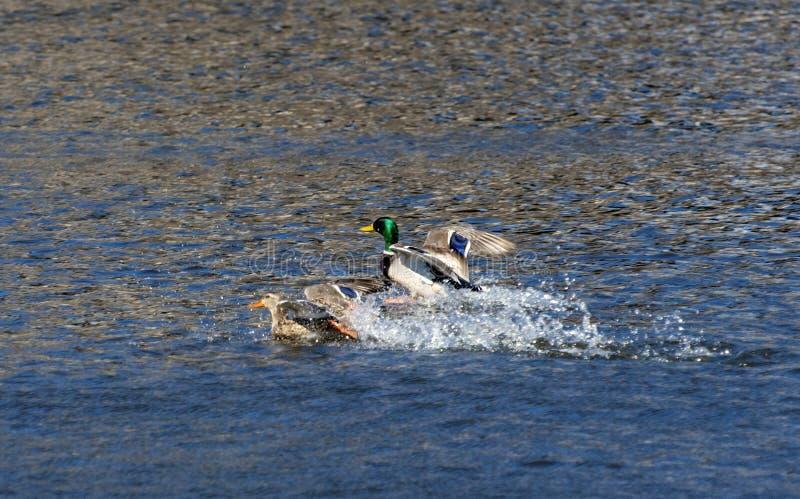 Enten, die auf dem Wasser landen stockfotografie