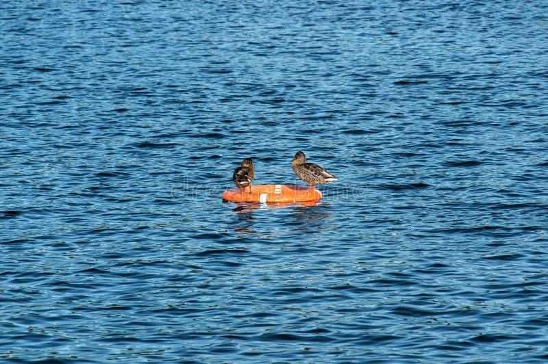Enten, die auf der Rettungsleine stillstehen stockfoto
