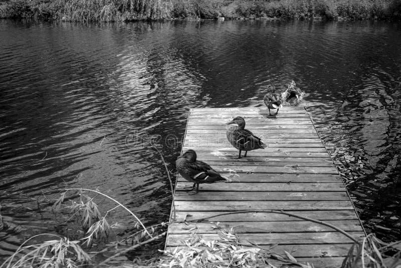Enten, die auf ein hölzernes Dock gehen lizenzfreie stockfotos