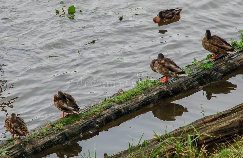Enten, die auf einem LOGON das Wasser sitzen lizenzfreies stockbild