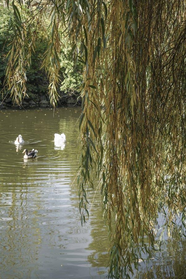Enten, die auf See hinter einem Baum schwimmen lizenzfreie stockfotos