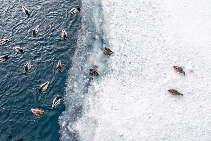 Enten, die auf Winterteich schwimmen lizenzfreie stockbilder